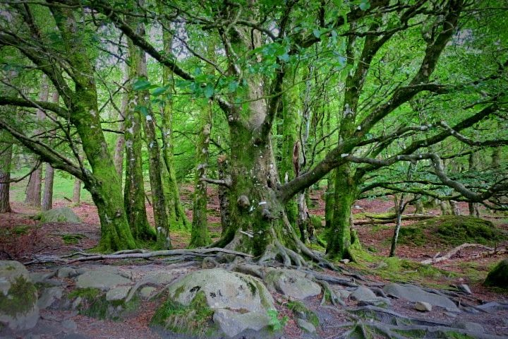 glendalough tree